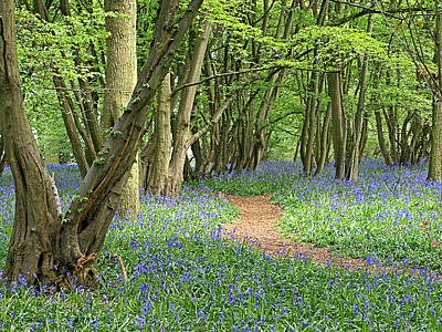 Bluebell Wood 3 Art Print by Gill Billington