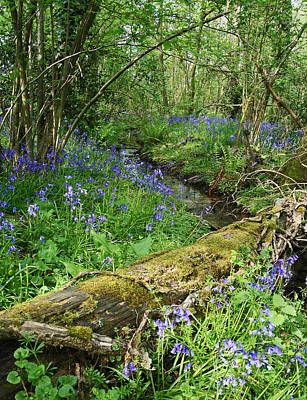 Bluebell Wood Art Print by John Topman