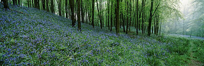 Spring Scenes Photograph - Bluebell Wood Near Beaminster, Dorset by Panoramic Images