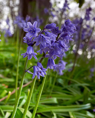 Photograph - Bluebell Wood by Paul Cowan