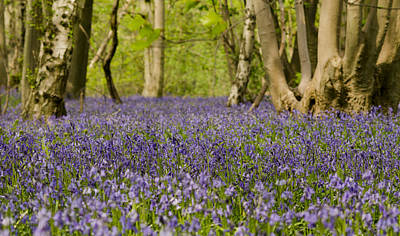 Photograph - Bluebell Woods by Spikey Mouse Photography