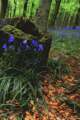Wales Photograph - Bluebell Woods The Wenallt 6 by Robert J Taylor