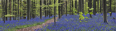 Photograph - Bluebells In Beech Forest by Arterra Picture Library