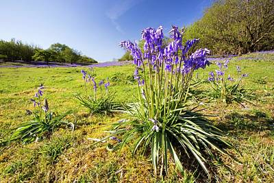 Blue Flowers Photograph - Bluebells And Hazel Coppicing by Ashley Cooper