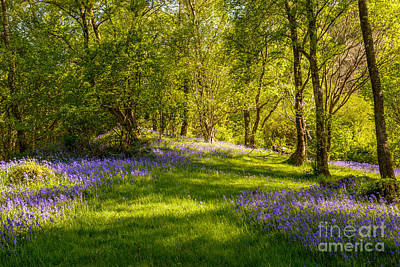 Dappled Light Photograph - Bluebells by Amanda Elwell
