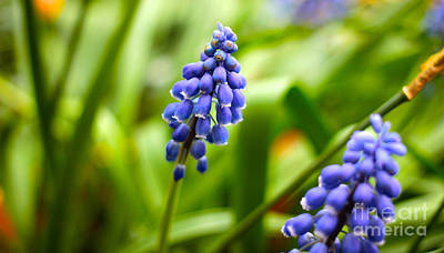 Photograph - Bluebells by David Warrington