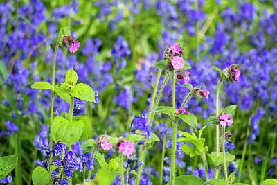 Flowering Blossoms Photograph - Bluebells Growing In A Woodland by Ashley Cooper