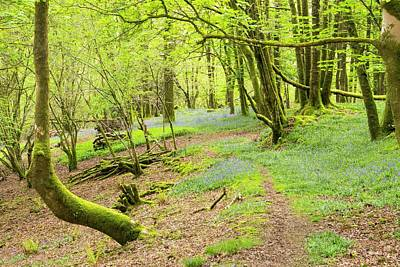 Flowering Blossoms Photograph - Bluebells Growing In Woodland by Ashley Cooper