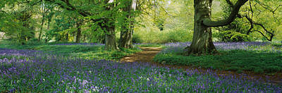 Spring Scenes Photograph - Bluebells In A Forest, Thorp Perrow by Panoramic Images