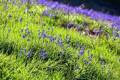Blue Flowers Photograph - Bluebells On Loughrigg Terrace by Ashley Cooper