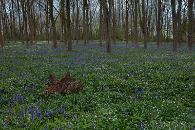 Photograph - Bluebells Oxey Wood. by Nick Atkin
