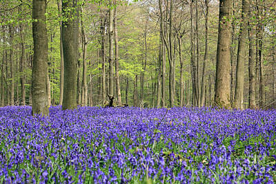 Bluebells Surrey England Uk Art Print