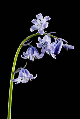 Photograph - Bluebells With Drops by Mary Jo Allen
