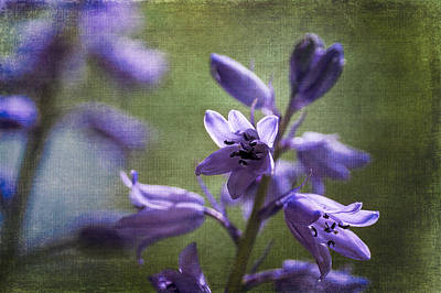 Photograph - Bluebells With Textures by Wayne Meyer