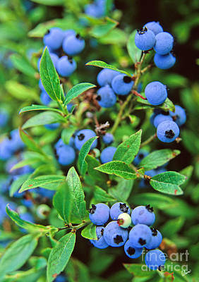 Photograph - Blueberries by Alana Ranney