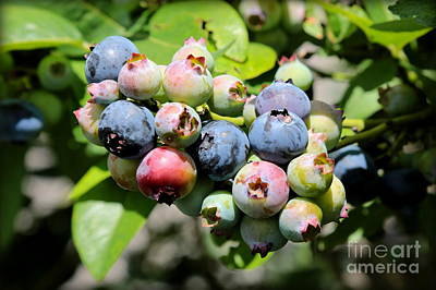 Grocery Store Photograph - Blueberries On The Vine by Carol Groenen