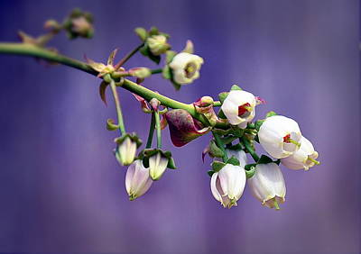 Photograph - Blueberry Blooms by Phillip Garcia