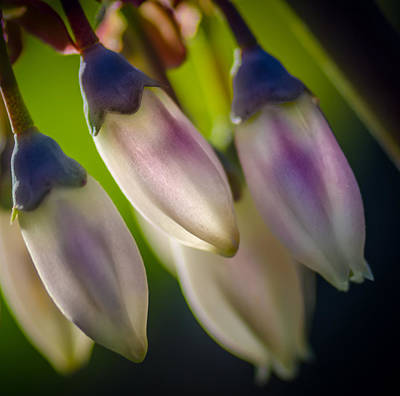 Photograph - Blueberry Blossom by James Barber