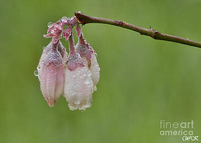 Photograph - Blueberry Blossoms by Wanda Krack