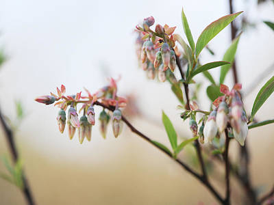 Blueberry Bush Art Print by Giffin Photography