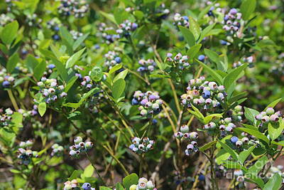 Photograph - Blueberry Bushes by Carol Groenen
