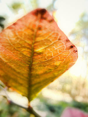 Photograph - Blueberry Leaf In The Autumn Breeze by Louise Kumpf