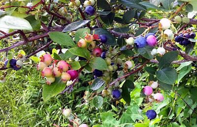 Blueberry Season Original by Tina Thibeault