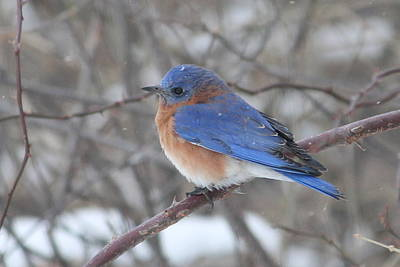 Photograph - Bluebird And Snowflakes by Matt Keough