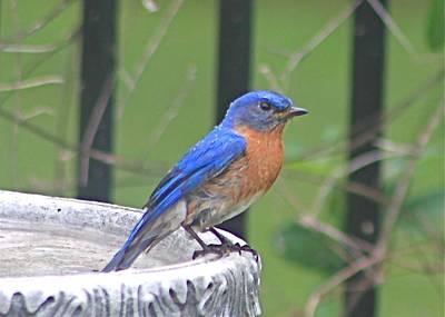 Photograph - Bluebird At Bird Bath by Jeanne Kay Juhos