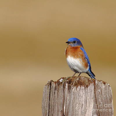 Bluebird Of Happiness Photograph - Bluebird At His Post by Robert Frederick