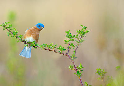 Bluebird Breeze Art Print