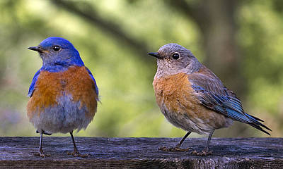 Photograph - Bluebird Couple by Jean Noren