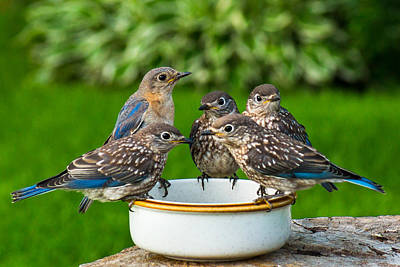 Photograph - Bluebird Family Brunch by Bill Pevlor