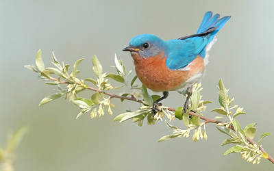 Bluebird Floral Print by William Jobes