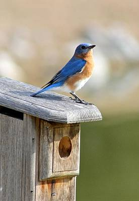 Photograph - Bluebird House Hunting by Jeanne Kay Juhos