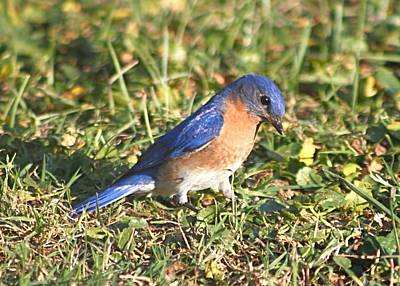 Photograph - Bluebird Hunting Prey In Grass by Jeanne Kay Juhos