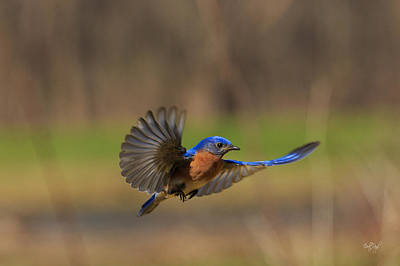 Birds Rights Managed Images - Bluebird in Flight Royalty-Free Image by Everet Regal