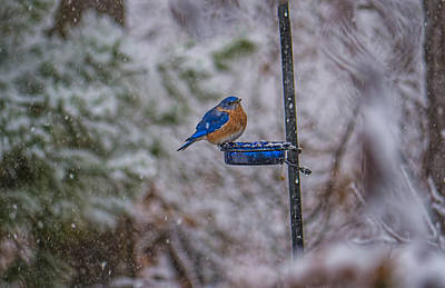 Bluebird In Snow Art Print