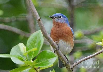Photograph - Bluebird In Spring by Kathy Baccari