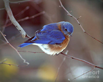 Bluebird In Winter Art Print by Karen Adams