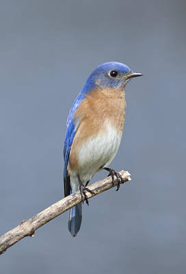 Photograph - Bluebird by John Crothers