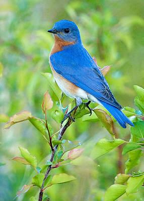 Birds Royalty Free Images - Bluebird Joy Royalty-Free Image by William Jobes