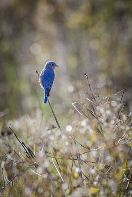 Bluebird Meadow Art Print