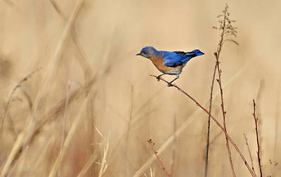 Anticipation Photograph - Bluebird Meadow by William Jobes