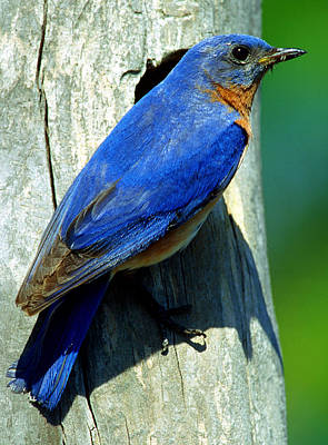 Photograph - Bluebird by Millard H. Sharp
