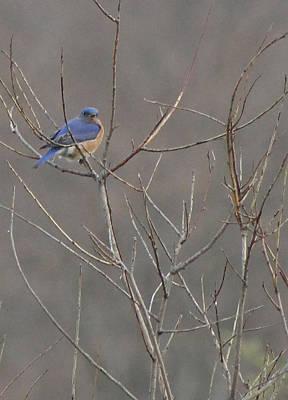 Bluebird On A Branch Art Print