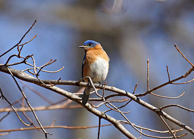 Photograph - Bluebird On Branch by Sandy Keeton