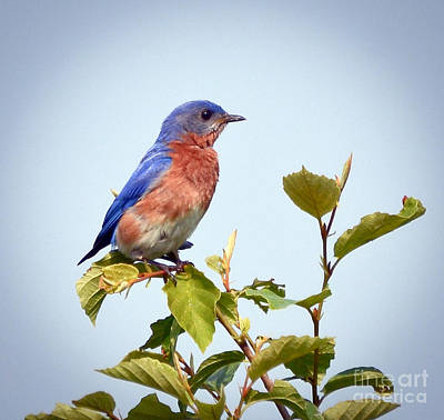 Photograph - Bluebird On Top by Kerri Farley
