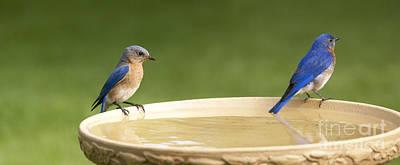 Photograph - Bluebird Pair At The Bath by Heidi Hermes