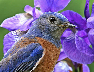 Photograph - Bluebird Portrait by Jean Noren